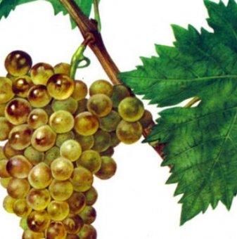 Посадъчен материал - Лоза Черноморски еликсир - бял винен сорт грозде -  Среднозреещ...