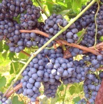 Посадъчен материал - Лоза Регент - червен винен сорт грозде -  къснозреещ...