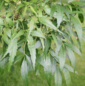 Полски ясен - Fraxinus angustifolia