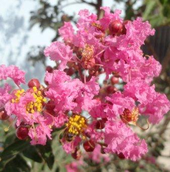 Индийски люляк Розов 50-100 см - Lagerstroemia indica..