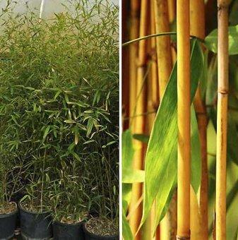 Бамбук - Bambusa Aurea ...