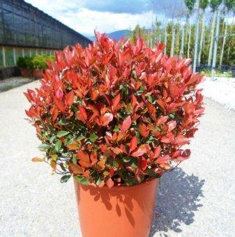 Кълбовидна Фотиния 190-230 см. - Photinia Little Red Robin..