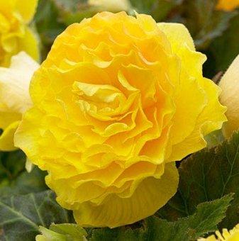 Кралска Бегония Жълта - Begonia DOUBLE YELLOW ...